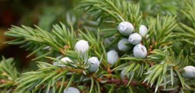 فوائد شجرة العرعر