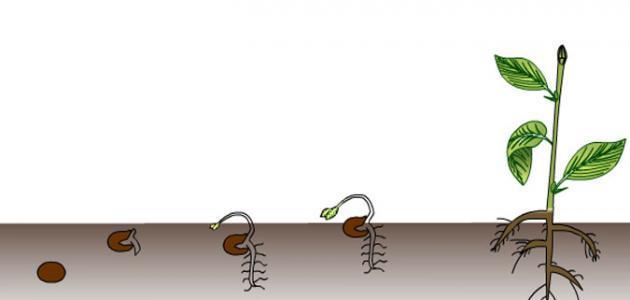 مراحل إنبات البذور