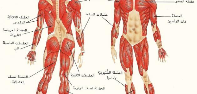 ما هو عدد عضلات جسم الإنسان