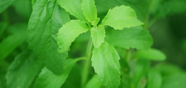 فوائد نبات ستيفيا