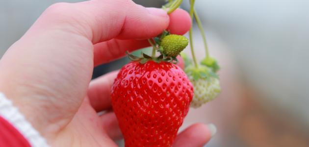 فوائد ماسكات الفراولة للبشرة