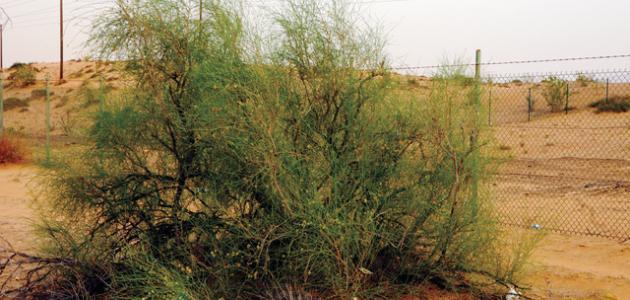 فوائد نبات الأرطة
