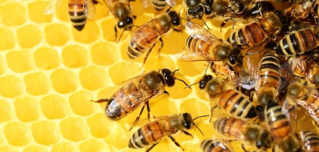 فوائد نحل العسل