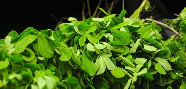 فوائد نبات الحلبة الخضراء