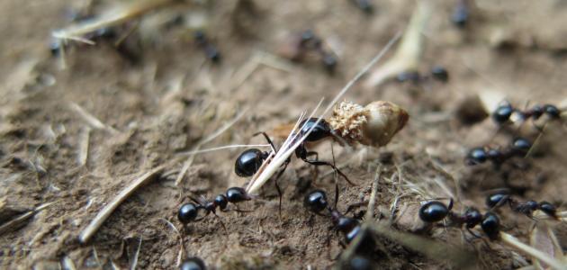 كيف يموت النمل