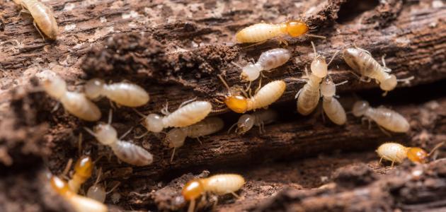 كيفية القضاء على النمل الأبيض