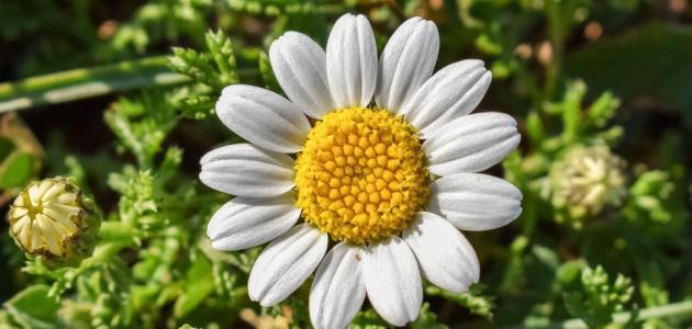 فوائد زهرة البابونج للوجه