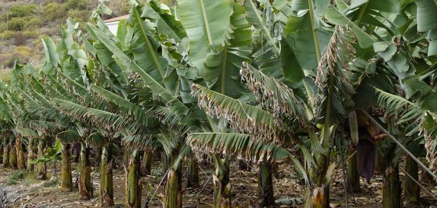 فوائد شجرة الموز