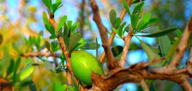 فوائد شجرة أركان