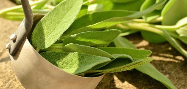 فوائد الميرمية مع الشاي الأخضر