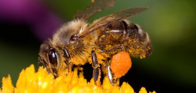 فوائد سم النحل الطبية