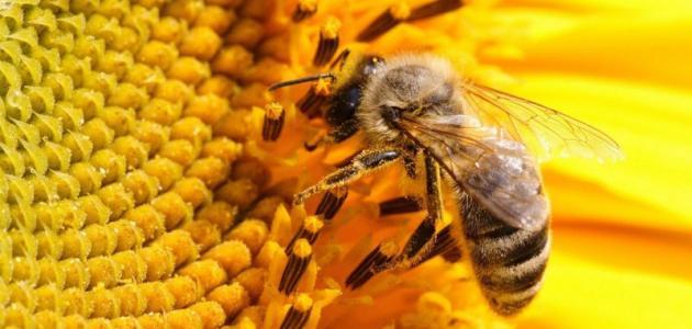 فوائد رحيق النحل
