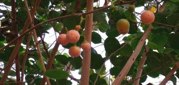 فوائد شجرة البمبر