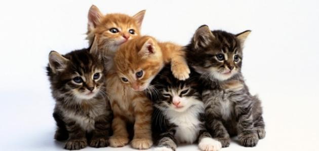 علامات اقتراب الولادة عند القطط