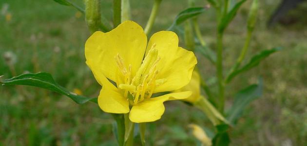 أضرار حبوب زهرة الربيع
