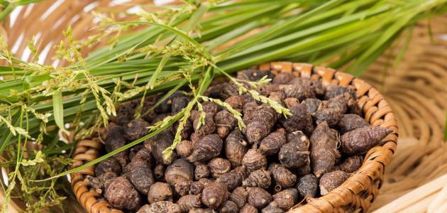 فوائد نبات السعد مع زيت الزيتون