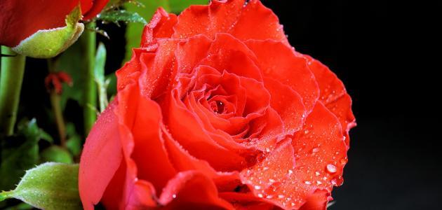 فوائد الورد الأحمر