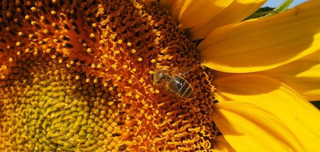 فوائد حبوب لقاح النحل للأطفال