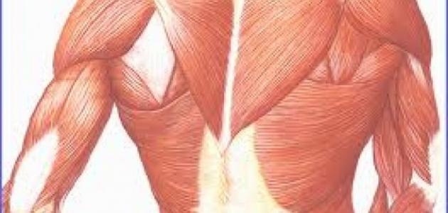 ما هي العضلات الملساء