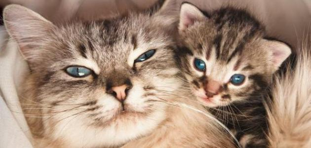 علامات اقتراب ولادة القطط