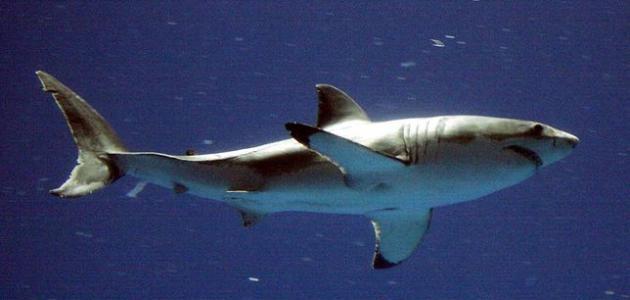 فوائد غضروف سمك القرش