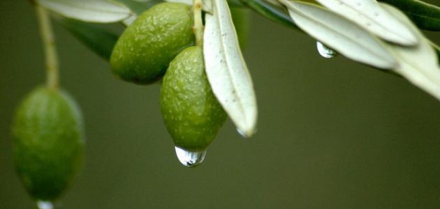فوائد ورق الزيتون المغلي للشعر