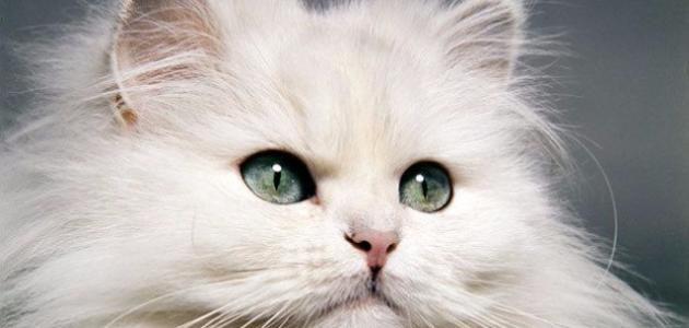مواصفات القطط الشيرازية