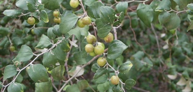 ما هو نبات السدر