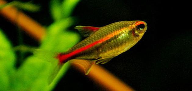 معلومات عن ذاكرة السمك