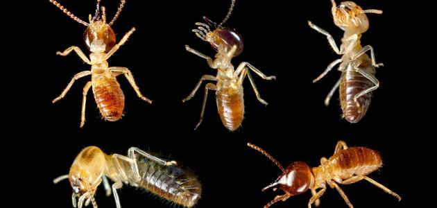 ما هي الحشرات المؤذية
