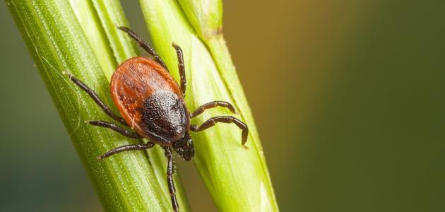 ما هي حشرة القرادة