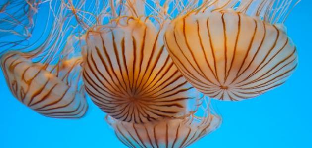 فوائد لدغة قنديل البحر