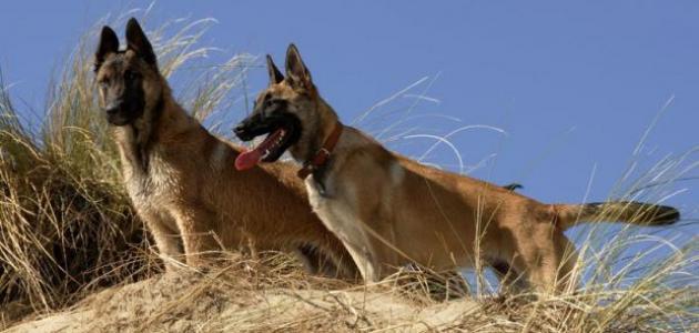 مواصفات الكلاب البلجيكية
