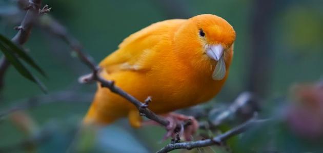 معلومات عامة عن طائر الكناري