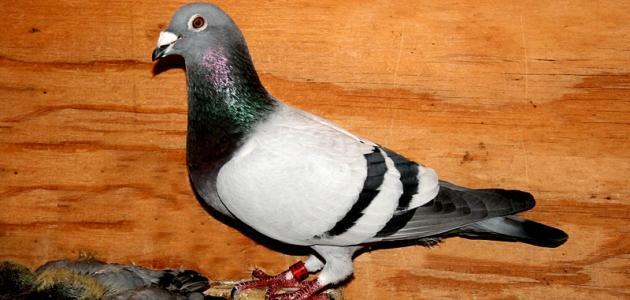 مواصفات طيور الزاجل الأصيلة
