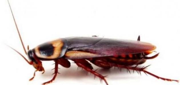 الطريقة الفعالة للقضاء على الصراصير