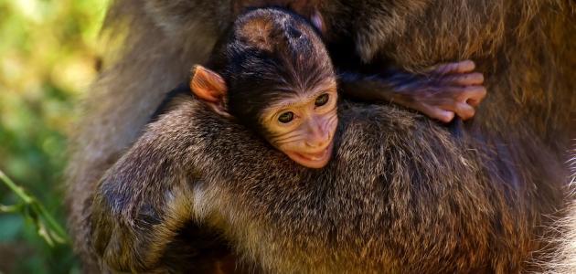 كيف يولد القرد