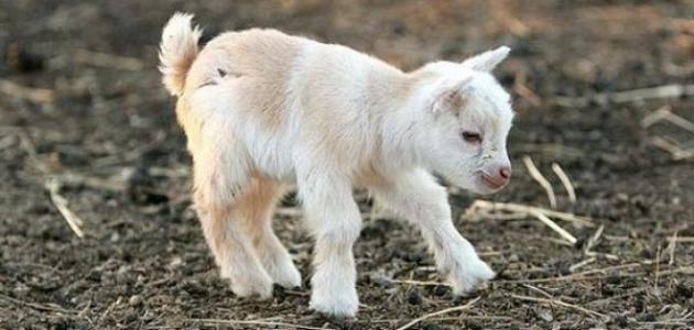 مراحل حمل الماعز