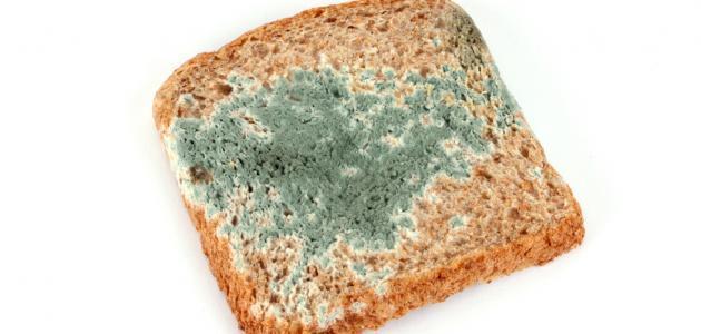 مراحل دورة حياة عفن الخبز