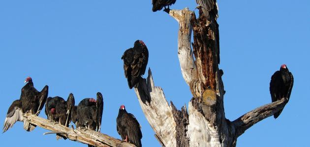ما هي الطيور الجاثمة