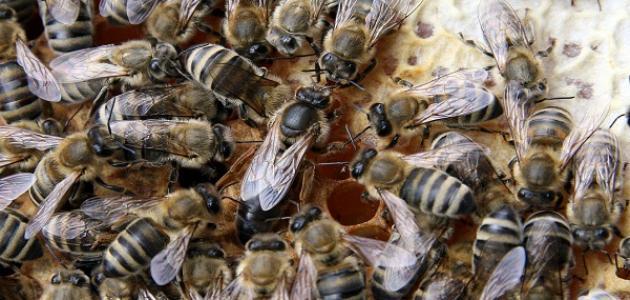 مراحل نمو النحل