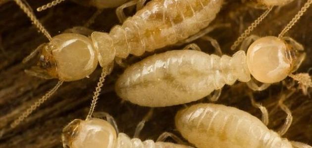 أسباب ظهور النمل الأبيض في البيت
