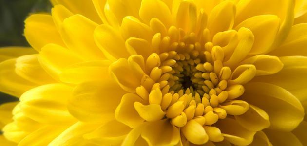 ما هي زهرة الذهب
