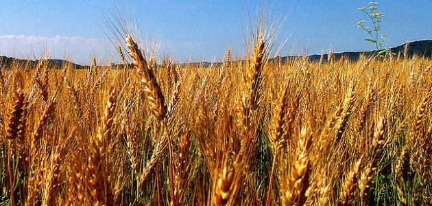 مراحل نمو نبتة القمح