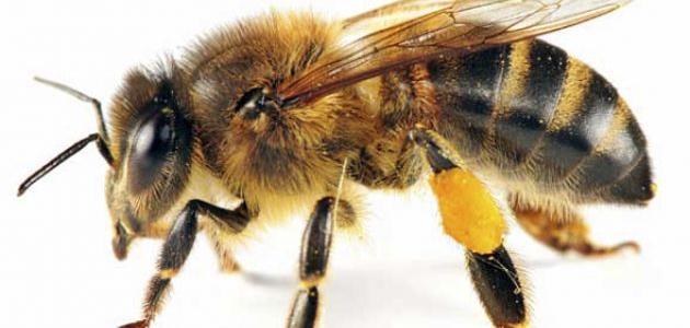 مراحل حياة النحلة