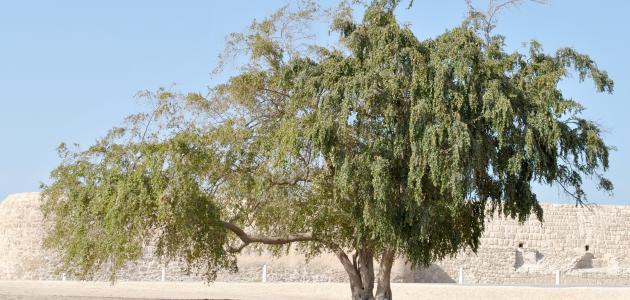 ما هي شجرة السدر