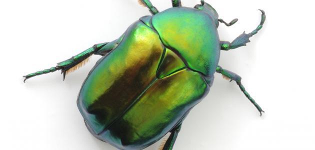 ما هي حشرة البق