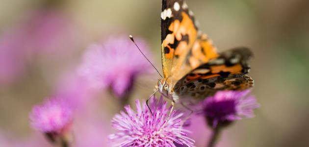 ما هي حشرة الفراش