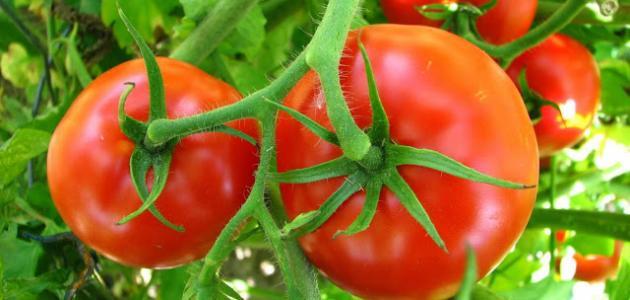 مراحل نمو نبات الطماطم