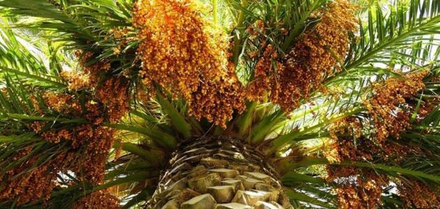 مراحل نمو ثمرة النخلة